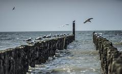 A day at the beach (Frank ) Tags: dsc09393def domburg noordzee northsea birds salt sand beach zeeland sony canonfd200mmf28 manuallenses vintagelens mf depthoffield bokeh dof shallowsharpness