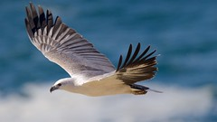 Eyeing below /2 (Geoff Main) Tags: australia bird birdofprey birdinflight canon7dmarkii canonef300mmf28lisiiusm canonefextender20xiii eagle nsw nswsouthcoast whitebelliedseaeagle