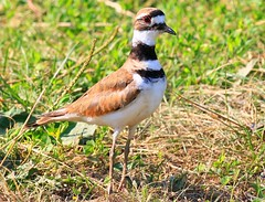 killdeer at Cardinal Marsh IA 854A8901 (lreis_naturalist) Tags: killdeer cardinal marsh winneshiek county iowa larry reis