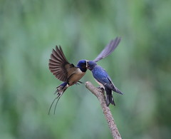 Swallow feeding young2