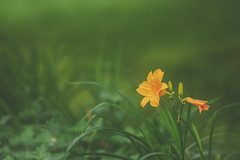 lily in a field of green (kderricotte) Tags: fotodiox adapter canon200mmf28lii bokeh lily flower sony sonya7ii grass field plant outdoor depthoffield