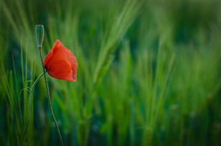 Who's your poppy?