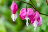 S17X9236 (Daegeon Shin) Tags: fujifilm xpro2 nikkor 55mmf28 mf manualfocus dof flower flor bleedingheart corazónsangrante 금낭화 dicentraspectabilis mirrorless nature