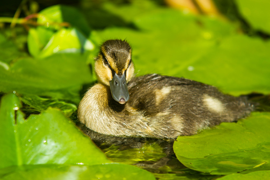 Caneton - Duckling