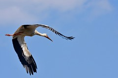 DSC_3700 (franckp64) Tags: bird cicognabianca fly volo whitestork ciconiaciconia oasideiquadris fagagna oasi