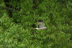 Busard Saint-Martin (mâle) / Northern Harrier (male) (Pierre Lemieux) Tags: saintjoachim québec canada ca busardsaintmartin mâle northernharrier male captourmente