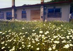 Closed house (threepinner) Tags: negaposidevelopment reversal pentax pentaxm me 50mm f17 negative iso100 mikasa hokkaidou hokkaido summer house flower 三笠 北海道 北日本 日本 japan northernjapan