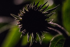 Early Echinacea (winsomeglimpse) Tags: macromondays silhouette cone flower coneflower echinacea