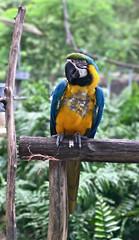 GUACAMAYO AZUL Y AMARILLO (gomesjose55) Tags: texturas recolix colores colors colours verde blue amarillo azul digitalphotography fotografiadigital green lightroom3 iphone7plus yellow textures puertorico