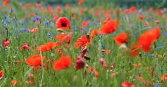 Poppy - Klaproos (www.petje-fotografie.nl) Tags: klaproos frankrijk rood bloemen groen natuur boussac creusenature