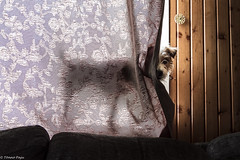 Sara. X-raying on a window in the morning. 24/52 (Tõnno Paju) Tags: sara dog animal jack russel terrier jackrussel 52weeksfordogs pet sun window