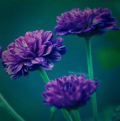 Poisonous -  HMM!! (Kreative Capture) Tags: macromondays poisonous mums chrysanthemums purple flowers fleurs toxic mammals cats dogs deerresistant hmm pet 7dwf wet plants