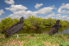 American black vultures (rdodson76) Tags: americanblackvulture blackvulture vulture coragypsatratus scavenger avian bird animal two pair nature swamp florida wildlife habitat environment green blue sky clouds