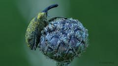 länglicher Distelrüssler (Larinus planus) (Oerliuschi) Tags: curculionidae insekt natur kaiserstuhl käfer rüssler olympusm60 panasonicgh5 distelrüssler larinusplanus
