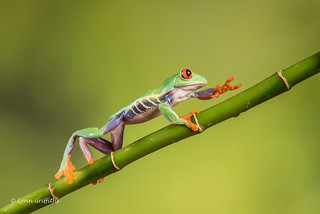 Red-eyed tree frog - I can see the light D75_7183.jpg