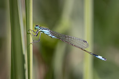 damselfly (Bea Antoni) Tags: blue blau tamron canon makro macro closeup outdoor gras summer sommer bokeh natur nature insekt insect libelle dragonfly