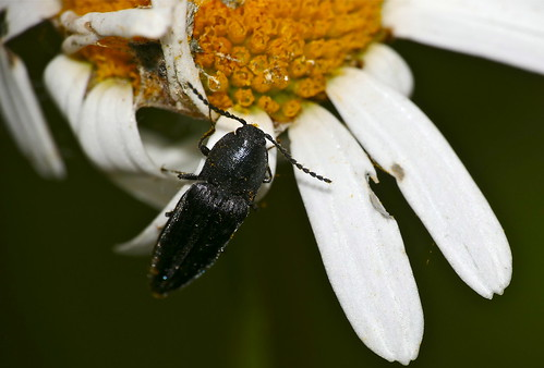 Black Click Beetle (Elateridae) (Id ?)