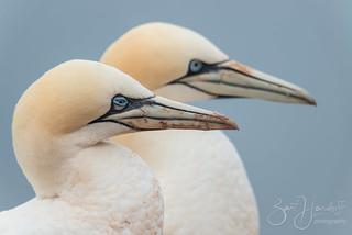 Northern gannets (explored)