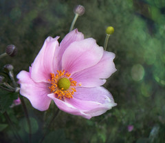 Fragile Anemone (Bessula) Tags: bessula garden flower anemone summer pink roseate macro bukeh ngc