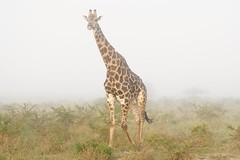 a Misty Morning and a Giraffe Bull (cirdantravels (Fons Buts)) Tags: giraffa girafe