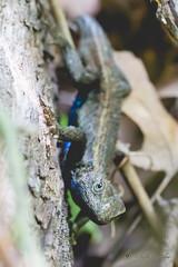 24/52 (yosmama151) Tags: 52weekproject 52weeks charonsgardenswildernessarea fencelizard herp lawton lizard oklahoma reptile wichitamountains wichitamountainswildliferefuge wildlife