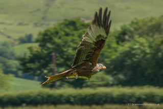 Red Kite Pan