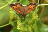 Gatekeeper on Alchemilla mollis (AndyorDij) Tags: butterfly insects insect gatekeeperbutterfly gatekeeper hedgebrown pyroniatithonus alchemillamollis ladysmantle