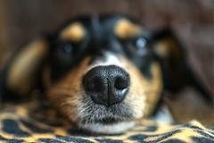 Focinho (AdrianoSetimo) Tags: snout dog focinho cachorro foxpaulistinha dof bokeh bokehlicious olympus25mmf18 mzuiko25mm18 em10mkii olympusomdem10mkii santabárbaramg closeup mft m43 nose microfourthirds macromondays