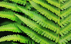Ferns : Slices of Nature (Eye of Brice Retailleau) Tags: angle colourful colours composition earth nature outdoor perspective scenery scenic travel trees extérieur green macro fern leaf fougère pattern plant europe norway lofoten