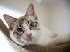 Luna (psyberartist) Tags: cats feline pet gatos chat kitten siamese snowshoe rescue