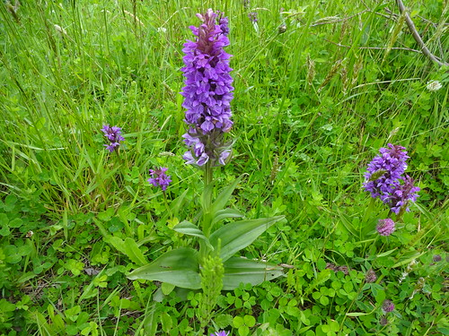 Western Marsh Orchid. Killorglin, Co Kerry