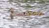 _53F9270b Mallard Ducks (~ Michaela Sagatova ~) Tags: birdphotography canonphotography duck ducklings mallard michaelasagatova