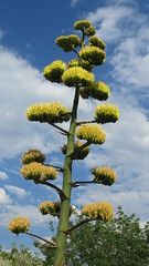 century plant (hounddiggity) Tags: newmexico albuquerque bloom centuryplant yellow
