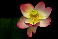 Lotus Flower #3912 (Christina's World aka Chrissie Bee) Tags: nature flower lotus pond pink yellow colorful pastel garden botanicgarden california sandiego blackbackground simplyflowers magicunicorntheverybest