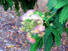 A Leafy Cosmos (sweetdaddyroses) Tags: leaf flower tree outdoors graden mimosa