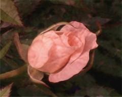 Rose is Rose (Dino Langis) Tags: summer flowers rose texture artcityartists artdigital magicunicornverybest legacy stilllife pinnaclephotography saariysqualitypictures awardtree