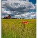 Backroads View (Mark Darnell) Tags: daylillyhemerocallisfulva botanicals farm