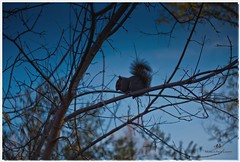 NOVEMBER 2016  NM1_1613_016344-22 (Nick and Karen Munroe) Tags: squirrel squirrels trees tree winter cold frosty wildlife animals blue beauty brampton beautiful brilliant nikon nickmunroe nickandkarenmunroe nature nickandkaren karenick23 karenick karenandnickmunroe karenmunroe karenandnick munroedesignsphotography munroedesigns munroephotography munroe canada clouds colour color ontario outdoors heartlakeconservationarea heartlake heartlakeconservation nikon2470f28