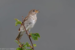 Gray-cheecked Thrush (Luis Villablanca) Tags: