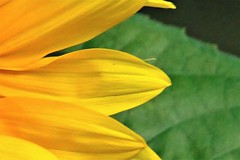 evening sun (Lana Pahl / Country Star Photography) Tags: flowerflowerflower flowersandsouls flowersmacroworld macroflowers