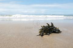 _SMA0669 (Edson Grandisoli. Natureza e mais...) Tags: regiãonordeste litoral praia costa alga parda sargasso sargassum