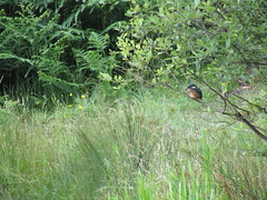 Kingfisher on Westwood Flash, Wigan Flashes (stevencarruthers93) Tags: greenheart wigan wiganflashes wildlife nature wildlifephotography naturephotography kingfisher bird birdphotography outdoors summer photography canon