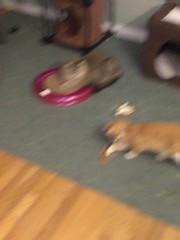 IMG_6520 (mary2678) Tags: tewksbury massachusetts ma kitty kitten cat maine coon chele kvothe