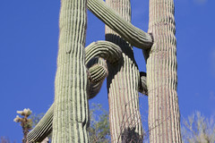 When cacti collide (nickgrossman) Tags: tuscon arizona usa sabinocanyon desert giantsequoia distorted bent