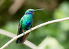 IMG_2273 Sparkling Violetear_hummingbird