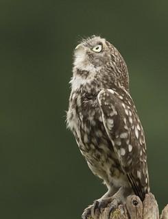 Owl7930