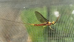 "Mayfly (""Just an ol' nature boy takin' a picture"") Tags: bug insect mayfly nature screen"