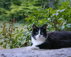Ziva ♥ (Xena*best friend*) Tags: zivadavid ncisspecialagent ziva zd summer2017 blackandwhitecats cats whiskers feline katzen gatto gato chats furry fur pussycat feral tiger pets kittens kitty piedmontitaly piemonte canoneos760d italy wood woods wildanimals wild paws animals calico markings ©allrightsreserved purr digitalrebelt6s canonef70300mm flickr outdoor animal pet