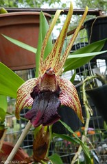 Epigeneium amplum (Sylvio-Orquídeas) Tags: orquídeas orchids orquidaceae espécies species flores flowers epigeneium amplum