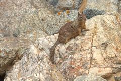 IMG_0238_240 Squirrel HDR (vicjuan) Tags: 20170625 美國 usa 加州 california montereycounty hdr tonemapping pebblebeach geotagged geo:lat=36591925 geo:lon=121964157 松鼠 squirrel